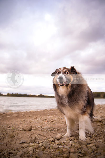 humorous collie cross dog looking sideways standing on lake shore
