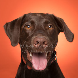 Close-up Brown Labrador Against Orange Studio Background