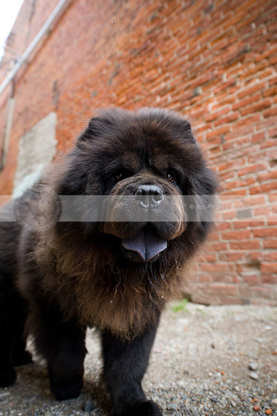shaggy hairy black chow dog at urban brick wall