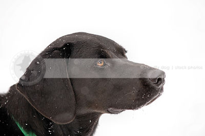 closeup headshot of black dog with minimal white background