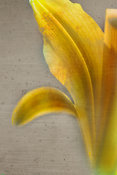 Lily | Abstract Flower  Art