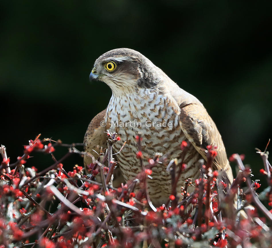 Juvenile male Eurasian Sparrowhawk (Accipiter nisus) in the top of a garden Japanese Barberry (Berberis thunbergii atropurpurea), Cumbria, England: alternative crop of previous image