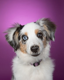 Miniature Australian Shepherd Puppy Against Purple Studio Background