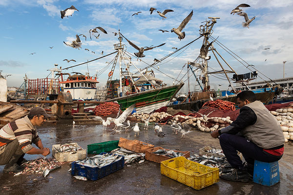 Fishermen Pulling off the Heads and De-gutting Freshly Caught Sardines