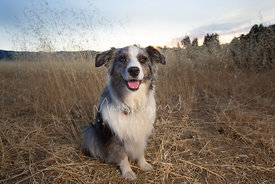 Smiling Australian Shepherd in Field
