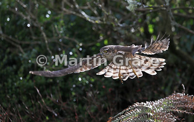 Juvenile male Eurasian Sparrowhawk (Accipiter nisus) flies at targeted prey in a Cumbrian garden, Lake District National Park, England