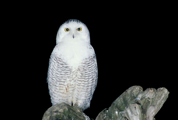 Snowy Owls photos