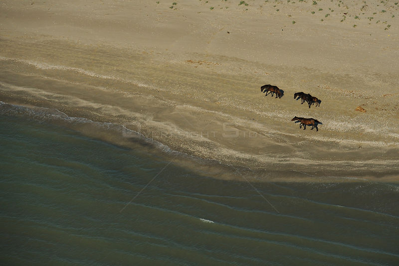 Wild horses walking along shoreline, aerial view within the Danube delta rewilding area, Romania, June 2012