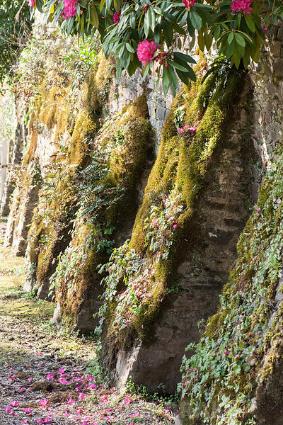 Retaining wall with buttresses cothed with mosses and ferns, with rhododendron flowering above. Cotehele, Cornwall, UK
