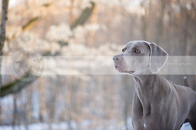portrait of shorthaired grey dog with minimal background
