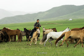 Local family rounding up their horses in Gun-Galuut Nature Reserve, 130 km (81 mi) south-east of Ulaanbaatar, Mongolia.