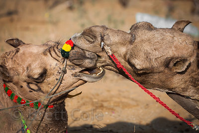 "Two camels ""kiss"" at the Pushkar Camel Mela, Pushkar, Rajasthan, India. They maintained this enthusiastic embrace for 20 minutes."