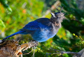 Stellar Blue Jay on Mount Rainier