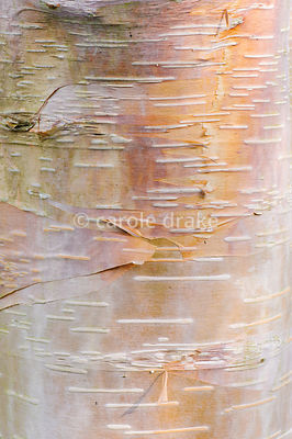 Betula utilis bark. Sir Harold Hillier Gardens, Ampfield, Romsey, Hants, UK