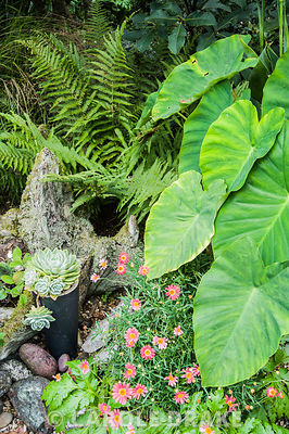 Pots of echeverias displayed around a wooden stump beside the large, heart shaped leaves of Colocasia esculenta and ferns.