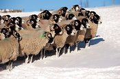 Flock of Swaledale sheep in the snow.