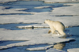 A polar bear making it's journey over some ice floes in Northern Storfjorden.