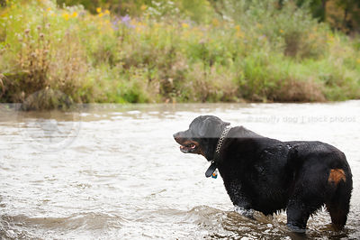 big wet black and tan rottweiler dog standing in river water