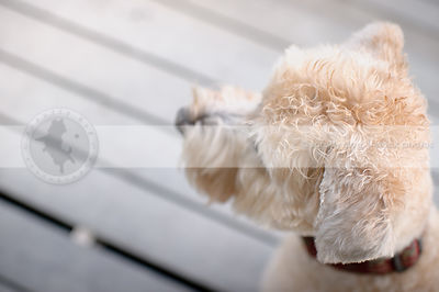 headshot of curly haired blond dog looking away on deck