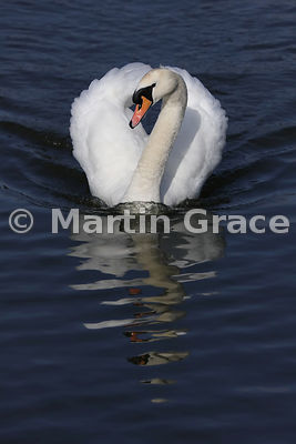 Mute Swan male (Cob) (Cygnus olor) displaying as he swims towards the camera, Mansfield, Nottinghamshire