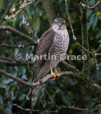 Juvenile male Eurasian Sparrowhawk (Accipiter nisus) with interesting eyes - see Description, Lake District National Park, Cumbria, England