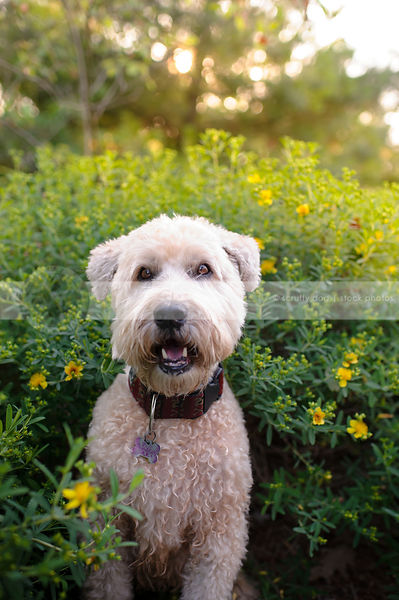 portrait of cute blond wheaten terrier dog staring in garden setting