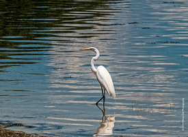 Great-white-heron-tampabay