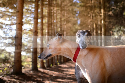 greyhounds & whippets photos