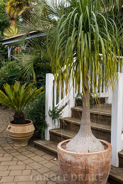 Bulbous trunked Beaucarnea recurvata at centre of steps up to Colonial Tea House flanked by containers of Cycas revoluta and Butia capitata, the jelly palm, behind. Abbotsbury Subtropical Gardens, Abbotsbury, nr Weymouth, Dorset, UK