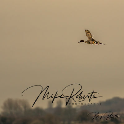 Pintail in flight