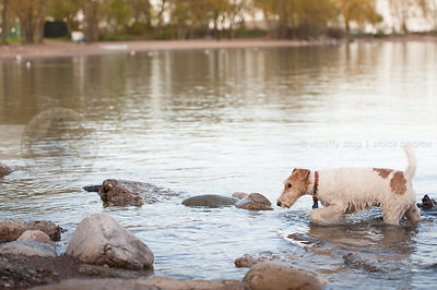 wet wirehaired fox terrier wading through water at beach