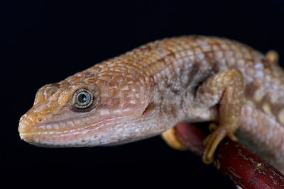 Texas alligator lizard (Gerrhonotus infernalis) photos