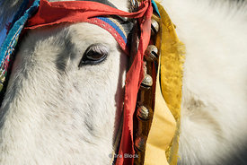 A closeup of a horse in Tibet.