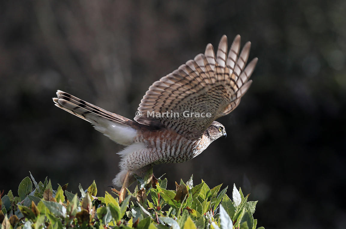 Juvenile male Eurasian Sparrowhawk (Accipiter nisus) taking off from the top of a garden Bay Laurel (Laurus nobilis), Lake District National Park, Cumbria, England