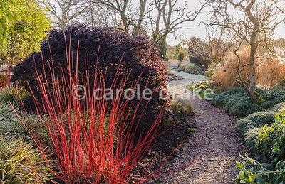 Path through the Winter Garden framed by cornus stems, hellebores and Carex morrowii 'Fisher's Form'. Sir Harold Hillier Gardens, Ampfield, Romsey, Hants, UK