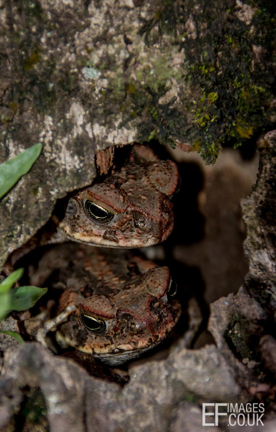 Two Toads Hiding In A Tree Trunk