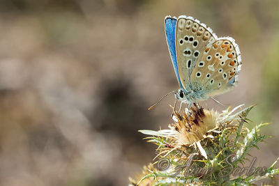 Blues Butterflies (Polyommatinae) photos