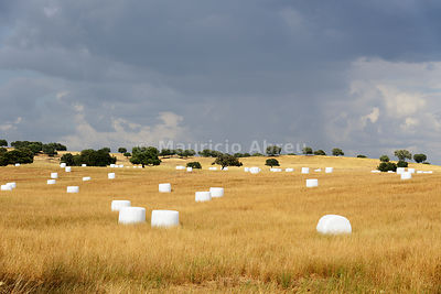 A field of Hay and Holm Oaks (Quercus ilex). Alentejo, Portugal