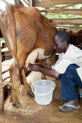 Farmer milking dairy cow by hand. Kenya.