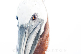 Pelican Whiteout