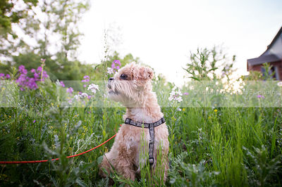 tan small dog looking away sitting in meadow flowers in summer