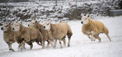 Border collie sheepdog working flock of sheep in snowy weather. North Yorkshire, UK.