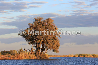 Jackalberry trees (Diospyros mespiliformis) just after sunrise, River Chobe, Botswana