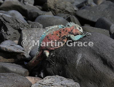 Male Espanola Marine Iguana (Amblyrhynchus cristatus venustissimus) demonstrating how it feeds below water - hanging on with its claws and grazing algae off the rocks, Punta Suarez, Espanola, Galapagos