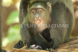 Blue Monkey Baby Tongue 1