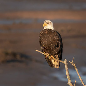 Morning_Bald_Eagle