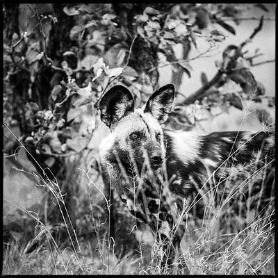 0703-Wild_Dog_in_the_grass_Botswana_2009_Laurent_Baheux