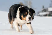 Border Collie sheep dog working in a snow covered field watching sheep intently. Yorkshire, UK.