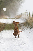 Irish setter puppy in snow