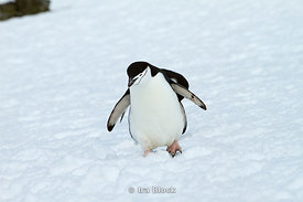 A chinstrap penguin walking on ice at the Antarctic Peninsula.